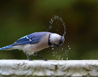 Blue Jay at the Birdbath
