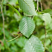 Small photo of Red Alder -- leaves
