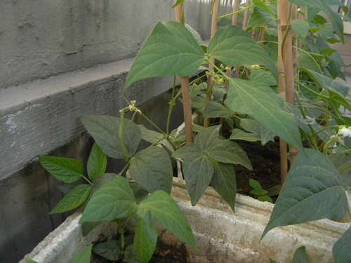 Rooftop Vegetable Garden _ 0813