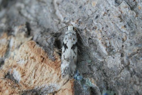 Caryocolum blandella