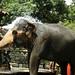 Kandyan Elephants