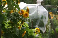 tomatoes under plastic 041