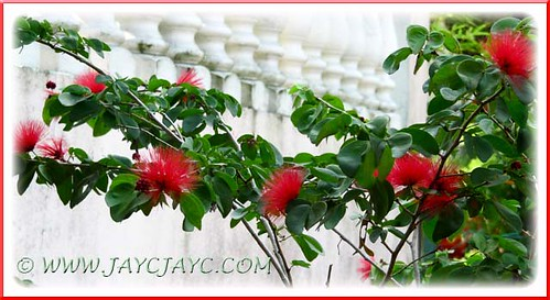 A beautiful display of Calliandra emarginata 'Red' (Dwarf Powderpuff) with red flowers, in our garden - June 24 2012