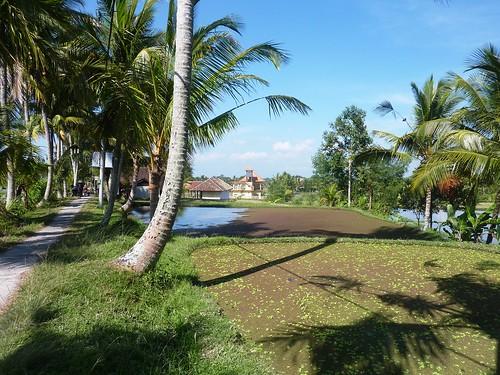 Bali- Ubud-Rizières (5)
