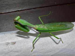 Green Mantis (Mantidae)