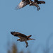 Osprey Chase by Juggler Jim