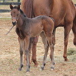 PLUM/GEMOLOGIST FILLY FOALED 3/5/14 at Dark Hollow Farm, OWNED AND BRED BY DARK HOLLOW FARM. MARE BACK TO TAPIZAR.