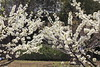 Photo:Japanese plum / Prunus salicina / 李(スモモ) By TANAKA Juuyoh (田中十洋)