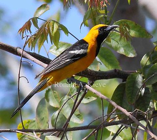 Hooded Oriole (Icterus cucullatus), Los Angeles, CA