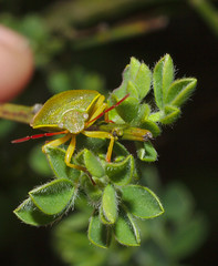 Gorse shieldbug says hello
