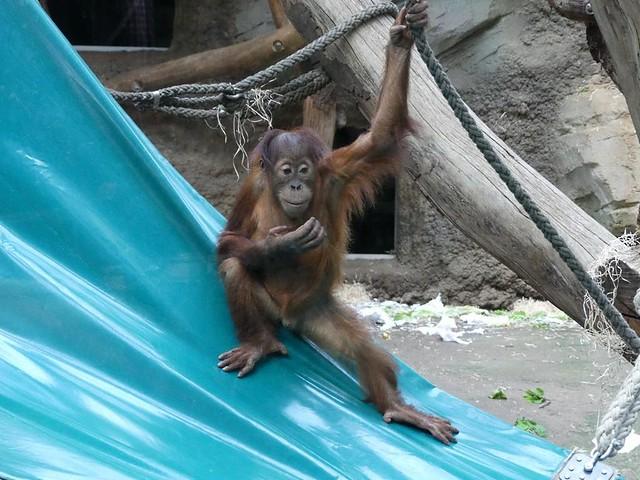 Sayang, Zoo Frankfurt