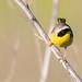 Common Yellowthroat (Shaw Nature Reserve)