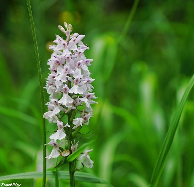 orchis tacheté (Dactylorhiza maculata)- Variation Blanche - Bord de route Alaise