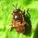 Microdon myrmicae  male by Nigel Jones