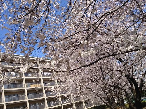 近所も桜満開。