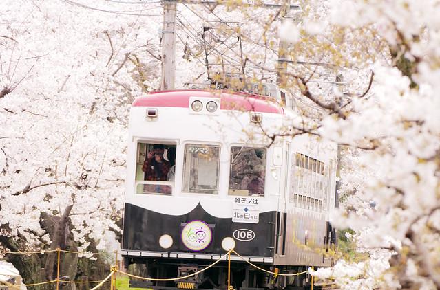 京都嵐山電鉄 桜のトンネル