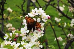 Butterfly 2455
