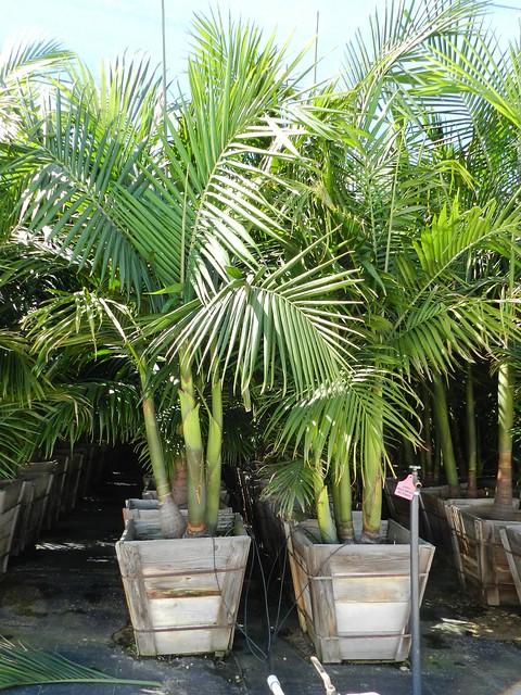 King Palms 24 Multi Trunk Flickr Photo Sharing
