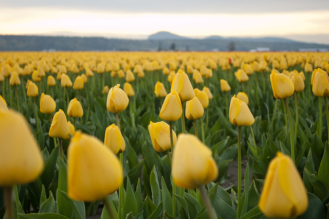 More yellow tulips