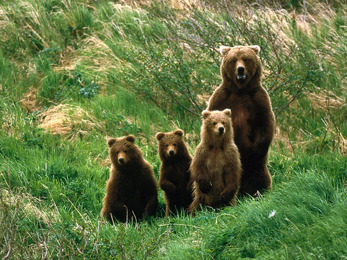 Brown-Bears-Pictures
