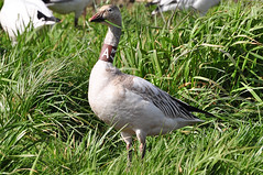Snow Geese - Banded