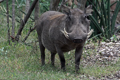 animal, horn, grazing, fauna, pig-like mammal, warthog, wildlife,
