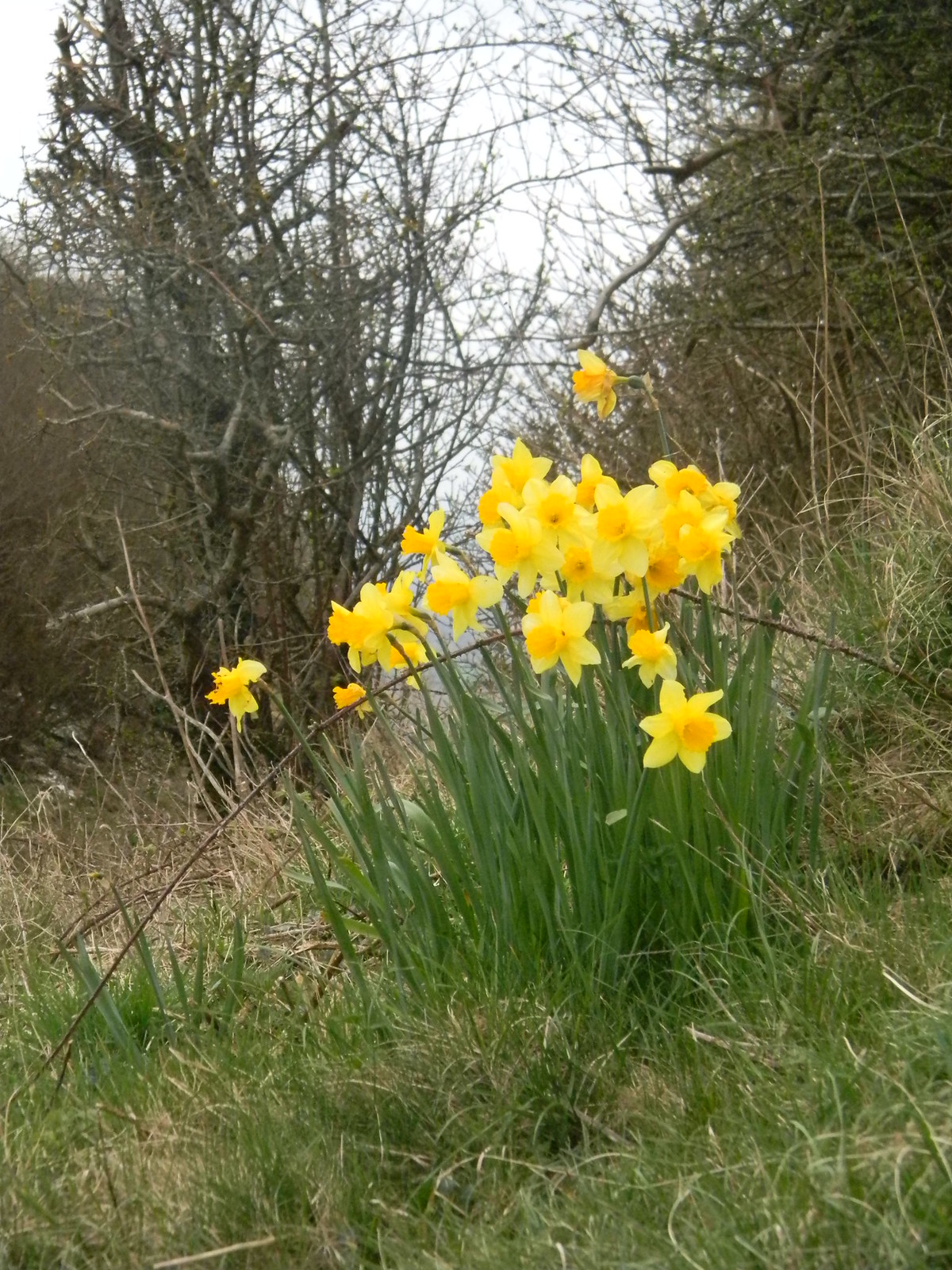 Daffs Hassocks to Lewes