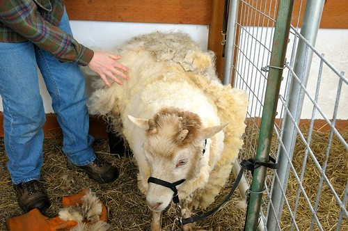 Felix shearing side