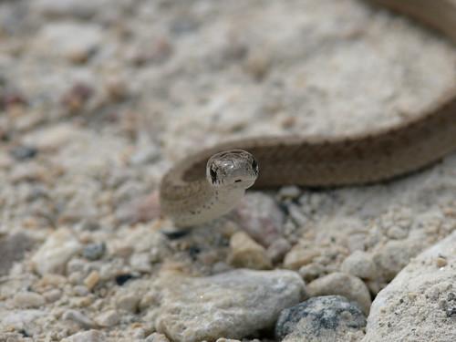 Baby Dekay's Brown Snake