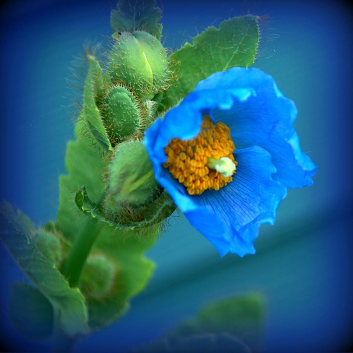 Alaska Anchorage Himalayan Blue Poppy