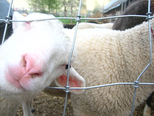 a curious ewe lamb