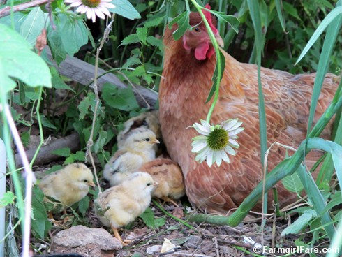 (16) Lokey and her new chicks in the echinacea patch - FarmgirlFare.com