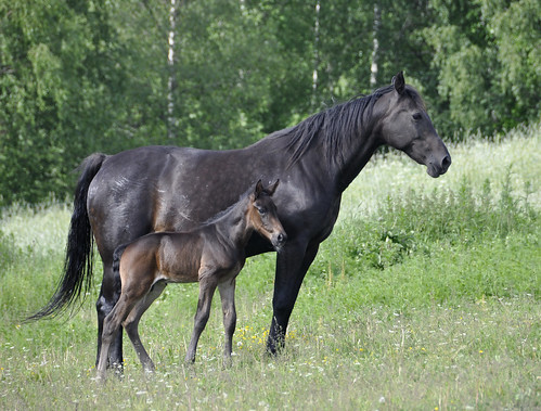 A black horse and foal in a field