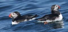 animal, water bird, puffin, charadriiformes, beak, bird, seabird,