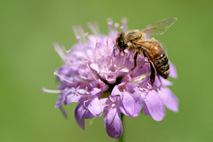 Scabiosa bee