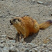 Long-tailed Marmot - Photo (c) Katrin, all rights reserved