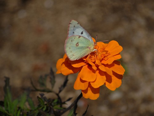 clouded sulphur female