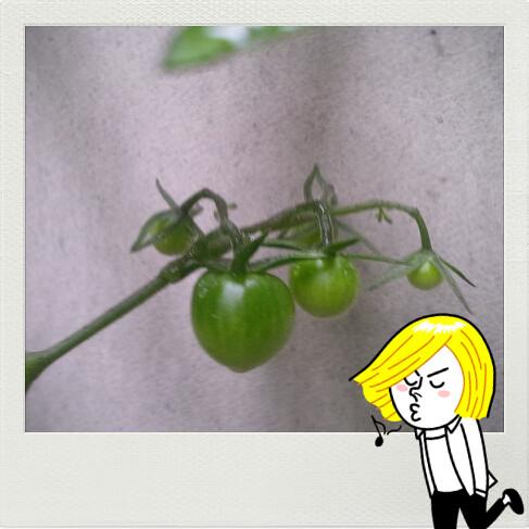 サントリーフラワーズ 本気野菜トマト スィーティミニ 第二花房