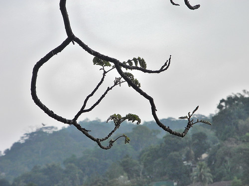 Tree Branches on Lake Kandy  (by Queenie)