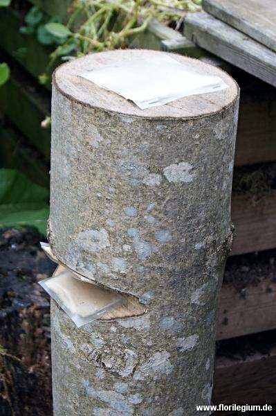 Pilzbrut von Austernpilzen (Pleurotus ostreatus) auf Eschenholz