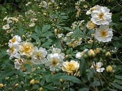 rosa wichuraiana, shrub, flower, plant, rosa canina, flora, rosa multiflora, rosa pimpinellifolia,
