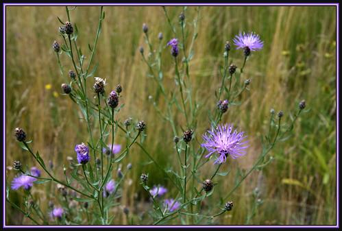 plant nature field weed seasons meadow knapweed