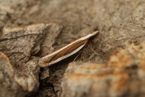 Dichomeris marginella