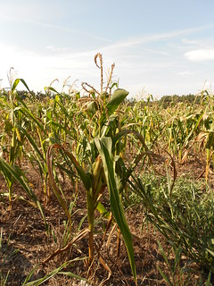 Drought Stressed Corn 008