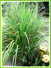 Luxuriant Cymbopogon citratus {Lemon Grass, Lemongrass, Barbed Wire Grass, Citronella Grass, Silky Heads, Serai (in Malay)} in our garden, July 16 2012