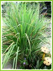 Luxuriant Cymbopogon citratus {Lemon Grass, Lemongrass, Barbed Wire Grass, Citronella Grass, Silky Heads, Serai (in Malay)} in our garden, July 16 2012