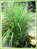 Cymbopogon citratus (Lemon Grass, Lemongrass, Barbed Wire Grass, Citronella Grass, Silky Heads, West Indian Lemongrass, 'Serai' in Malay))