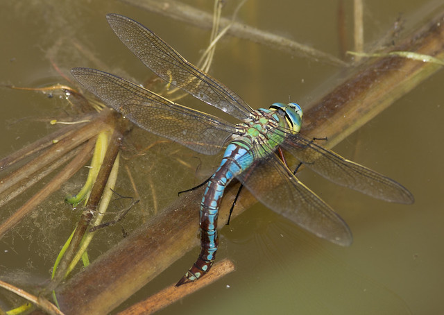 Emperor dragonfly egg laying top down