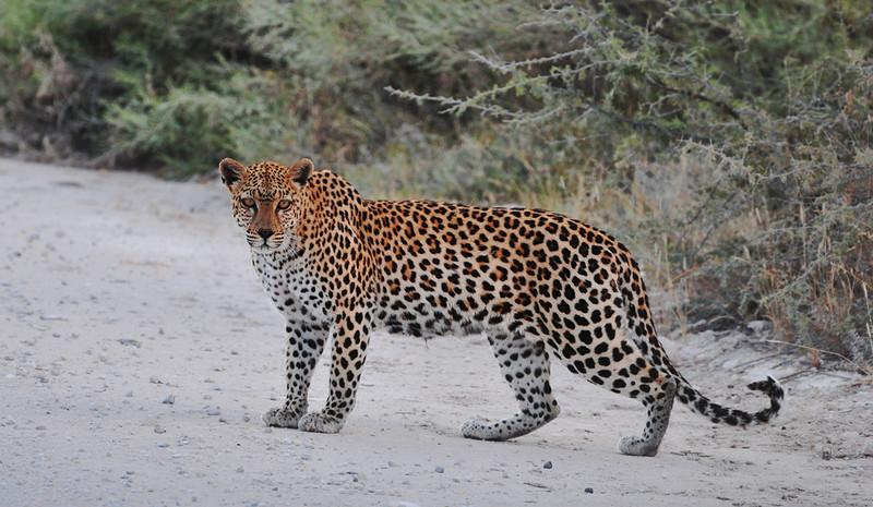 Leopard im Etosha Park in Namibia