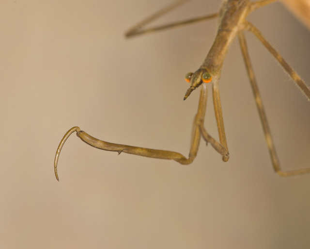 Water stick insect Ranartra linearis cloer up 3
